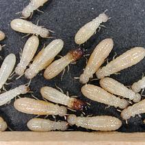 Termite removal